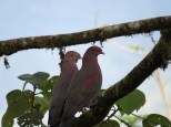 Red-billed Pigeons 3-20-2015